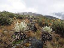 Espeletia grandiflora, Chingaza National Park, Cundinamarca Department, Colombia stock photography