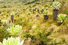 Espeletia Pycnophylla Plant At High Altitude Stock Photo