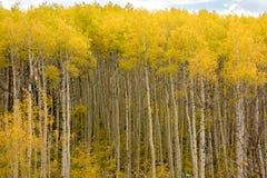 Espen in Autumn Gold Leaves Stockbild