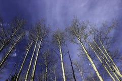 Espen, die zum Himmel erreichen Stockfotos