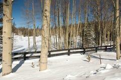 Espen im Schnee Stockfotografie