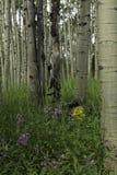 Espen und Wildflowers Stockfotos