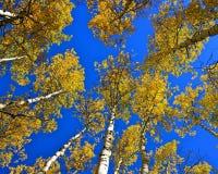 Espenbäume des niedrigen Winkels Lizenzfreie Stockbilder