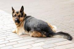 A espera da rua do cão pastor senta um animal de estimação grande triste preto marrom do cão perdido Fotos de Stock Royalty Free