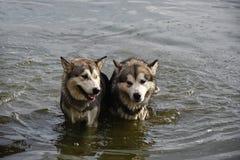 Espera de dois cães para a chuva na água Fotos de Stock