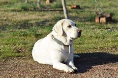 Espera de Labrador imagens de stock