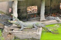 Espera del cocodrilo para alimentar en la granja Foto de archivo libre de regalías