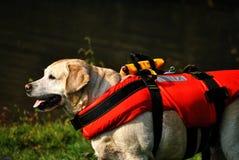 Espera do cão do salvamento Imagem de Stock Royalty Free