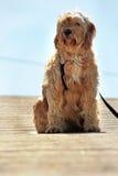 Espera do cão doméstico fotografia de stock royalty free