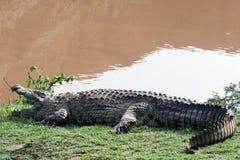 Espera do crocodilo fotos de stock