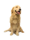 Espera do golden retriever Fotos de Stock Royalty Free