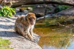 Espera do sylvanus do Macaca na água fotografia de stock royalty free