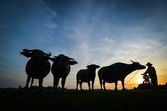 Espera dos búfalos a ir em casa Foto de Stock Royalty Free
