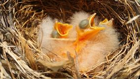 Espera dos pássaros de bebê para o alimento no ninho video estoque