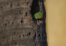Espera: Krameri do Psittacula ou Rose Ringed Parakeet Juvenile foto de stock royalty free