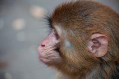 Espera para el pequeño mono del beso Fotografía de archivo