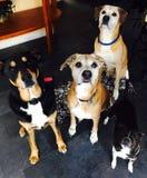 Esperando nossos deleites do cão Foto de Stock Royalty Free