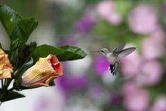Esperando o hibiscus para abrir fotografia de stock royalty free