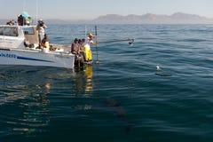 Esperar el gran tiburón blanco. Fotografía de archivo libre de regalías