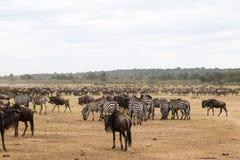 Esperar la travesía Acumulación de ungulates en la orilla del río de Mara Kenia, África imagenes de archivo