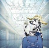 Esperas d?lmatas del perro en el aeropuerto con la maleta azul fotografía de archivo libre de regalías