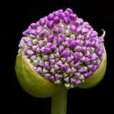 Espere y vea Allium Giganteum, momentos antes de la floración imágenes de archivo libres de regalías
