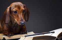 Esperto di libri della luce di qualità dello studio del cane del bassotto tedesco Fotografia Stock Libera da Diritti