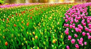 Espetáculo maravilhoso das tulipas nos jardins de Keukenhof Fotos de Stock Royalty Free