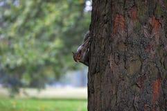 Espiar cinzento do esquilo Fotografia de Stock
