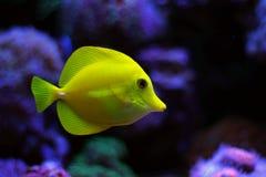 Espiga amarela Fotografia de Stock