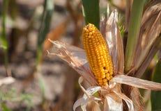 Espiga amarela madura do milho doce em um grande campo Imagem de Stock Royalty Free