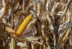 Espiga amarela madura do milho doce em um grande campo Foto de Stock