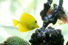 Espiga amarilla Imagen de archivo libre de regalías