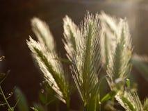 Espiga de la hierba Imagen de archivo libre de regalías
