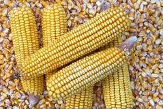 Espiga de milho e semente de milho Fotografia de Stock Royalty Free