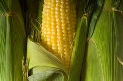 Espiga de milho fresca Fotografia de Stock Royalty Free