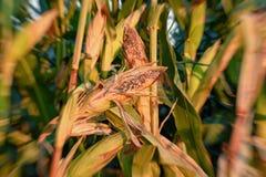 Espiga de milho inoperante sem-vida secada em um campo de milho queimado pelo sol quente fotografia de stock royalty free