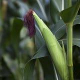 Espiga de milho que cresce no campo Imagens de Stock