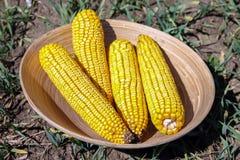 Espiga de milho seca em uma placa cerâmica Foto de Stock Royalty Free