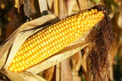 Espiga de milho, Zea maio Imagem de Stock Royalty Free
