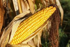 Espiga de milho, Zea maio Foto de Stock Royalty Free