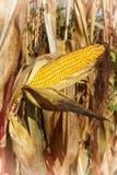 Espiga de milho, Zea maio Imagem de Stock