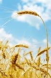 Espiga de oro del color en campo y cielo azul con las nubes Imágenes de archivo libres de regalías
