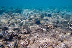 A espiga de Siganidae e de savelhas está no fundo do mar Imagem de Stock