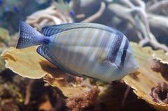 Espiga del Surgeonfish/de Sohal Fotografía de archivo