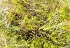 Espiga del trigo en campo de maíz Foto de archivo libre de regalías
