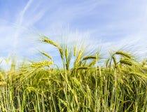 Espiga del trigo en campo de maíz Imagenes de archivo