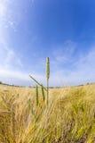 Espiga del trigo en campo de maíz Imágenes de archivo libres de regalías