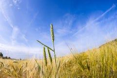 Espiga del trigo en campo de maíz Foto de archivo