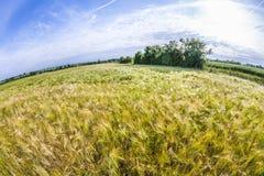 Espiga del trigo en campo de maíz Imagen de archivo
